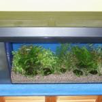 Bild: Neueinrichtung eines Aquariums (2006) / Abzüglich des Filters blieben 70 x 30 cm Grundfläche für die Bepflanzung übrig. Die Bepflanzung kann sich sehen lassen (2006).