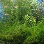 Bild: Arnold Design Aquarien / Boraras naevus (ex Red micros) Erdbeer-Zwergbärbling als Besatz in einem getunten Waterhome 60er Set - 2012. Garnelen in Güstrow / Mecklenburg-Vorpommern.
