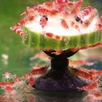 """Bild: Kristallrote Zwerggarnele / Caridina cf. cantonensis """"Crystal Red"""" beim Gurkenschmaus."""