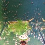 Bild: Garnelenzucht / Blick in ein Zuchtaquarium der Garnelenanlage