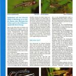 Bild: Pressemitteilungen / Aquarium Live Oktober / November 2007 - Liste der klein bleibenden Fische. Text und Fotos Erik Maik Arnold.